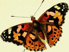 """Image from page 38 of """"The papilios of Great Britain, systematically arranged, accurately engraved, and painted from nature, with the natural history of each species, from a close application to the subject, and observations made in different countries of 