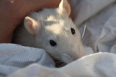 La douceur incarnée chez le rat : Ange <3 Les Rats, Rodents, Ratatouille, Animals, Dumbo Rat, Cute Memes, Cute, Gentleness, Angel
