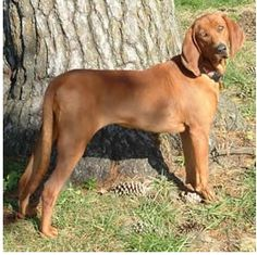 Red Bone Coon Hound. Determined, loyal, stubborn, patient, gentle, rugged and we love ours! We aren't hunters but she makes a great family pet!