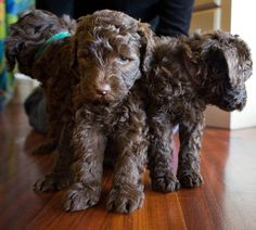 Chocolate Labradoodles Triplets
