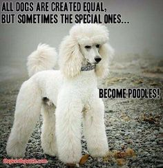 Gunther What a gorgeous snowy white standard poodle! Source by The post Poodle dude appeared first on Stubbs Training. Dog Training Techniques, Dog Training Tips, Poodle Grooming, Dog Grooming, Best Dog Breeds, Best Dogs, Yorkies, French Poodles, Standard Poodles