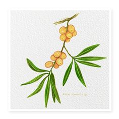 Sea Buckthorn Rich in lipids, fat-soluble vitamins and plant sterols. Sea Buckthorn contains Vitamins C and E, large amounts of carotenoids and is a potent antioxidant that helps repair and smooth the skin. Miranda loves the inclusion of Vitamins A, C and E (also known as Bio ACE) KORA Organics products. These three vitamins work collectively as a team providing further antioxidant support to the skin.