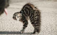 Dá pra ver bem as orelhas abaixadas e o pelo eriçado, certo? Há rosnados e gritos. Por outro lado, um gato assustado também pode partir para a agressão.