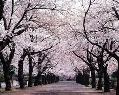 A Canopy of Beautiful Japanese Cherry Blossoms