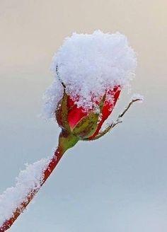 Flowers in the Snow Frosty Purple Petunia - Lovely still beautiful Frozen Rose Amazing Flowers, Beautiful Roses, Beautiful Images, Art Blanc, Frozen Rose, I Love Snow, Winter's Tale, Winter Beauty, Winter Wonder