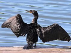 The gangly Double-crested Cormorant is a prehistoric-looking, matte-black fishing bird with yellow-orange facial skin. Though they look like a combination of a goose and a loon, they are relatives of frigatebirds and boobies and are a common sight around fresh and salt water across North America. (April 2014)