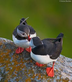 puffin love, miss you. Sea Birds, Love Birds, Beautiful Birds, Animals Beautiful, Cute Animals, Tropical Birds, Colorful Birds, Bird Kite, Puffins Bird