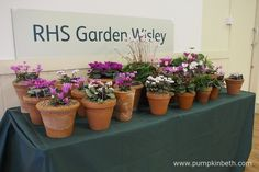 The Royal Horticultural Society produced this beautiful display of Cyclamen for The Cyclamen Society Show at the Hillside Events Centre at RHS Garden Wisley. Pictured on the February Container Plants, Container Gardening, February 2016, Early Spring, Centre, Planter Pots, Events, Display, Pictures