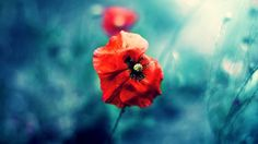 1366x768 Wild Red Poppy desktop PC and Mac wallpaper