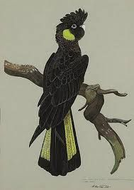 Paintings of Yellow tailed black cockatoos - Google Search