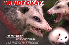 Funny Animal Pictures, Funny Animals, Cute Animals, Mcr Memes, Stupid Funny Memes, Emo, Opossum, My Chemical Romance, Mood Pics