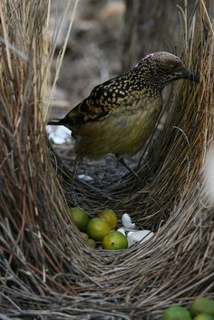 Bower bird nest - the males spend months building intricate nests to impress his mate..not only the nest, but flowers, berries and any bits of color are used to entice a female to mate with him. EM