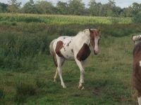 Paard te koop: Appaloosa - Overig - Merrie - lieve bonte jaarling merrie   HorseStep