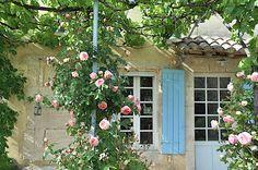 Rosier Pierre de Ronsard. Une merveille de roses