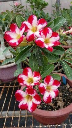 Desert Rose: Adenium obesum [Family: Apocyanaceae]