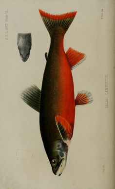 1862 - Proceedings of the Zoological Society of London. Fish Drawings, Animal Drawings, Nature Illustration, Botanical Illustration, Fish Sketch, Ocean Drawing, Animal Collective, Fish Artwork, Weird Fish
