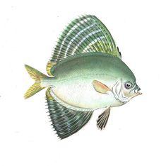 #Poisson velifer ou veliferum vit dans les eaux du #pacifique. Il fait partie de la grande famille des #poissons chirurgiens et en France on l'appelle fréquemment le #Chirurgien à voile ou Chirurgien voilier en raison de ses nageoires développées, qui ressemblent à des voiles #numelyo #océan #bestiaire