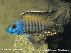 Peacock Cichlid.
