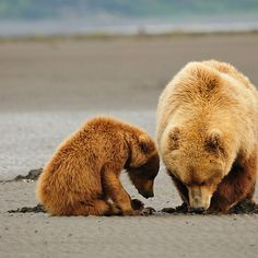 Alaskan Coastal Brown Bears - Life's Lessons