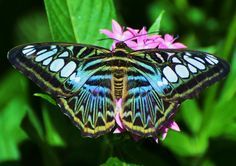 All Newest - Pixdaus | Blue Clipper butterfly - by Milehmann By: Skip