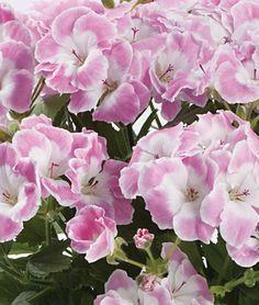 Geranium pelargonium 'Soft Spoken'