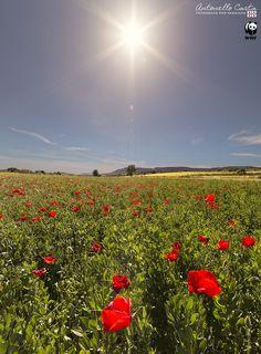 ...1000 Red Poppies by Antonello Carta Fotografo per passione on 500px