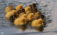 group of swimming ducklings