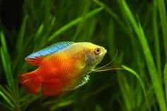 I had a dwarf fire gourami in college. His name was Ferrari.