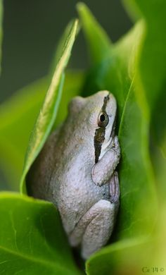 Christy Pitto @CrawliesWithCri  Sep 22 One from last year for #TreeFrogTuesday. Pacific Tree Frog rockin' the camo in the camellia! #becurious Embedded image permalink