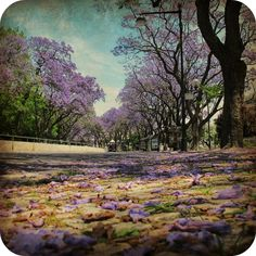 Jacarandas from Lisbon Cascais, Lisbon Portugal, Lovers, Lifestyle, Pictures, Painting, Cities, Lisbon, Dreams