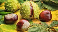 Kaštany, plody stromu jírovec maďal, léčí revmatismus, dnu, kašel, bolesti zad i hlavy. Kaštany pomáhají i v kapse a v posteli. Recepty na tinkturu a mast Bolet, Poster, Coconut, Little Gifts, Postcards, Nice Asses, Art, Craft, Posters