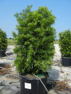 Japanese Yew 30 Gallon (Podocarpus)