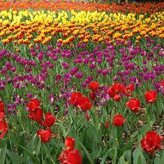 Spring flowers in texas artahh pinterest spring flowers a field of tulips tulips flowersfields mightylinksfo