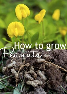 How to grow your own peanuts - amazing plants with yellow flowers, and underground are tasty peanut pods!