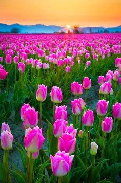 Skagit Valley, USA Bike trip through the tulips  Worth the workouts #HipmunkBL