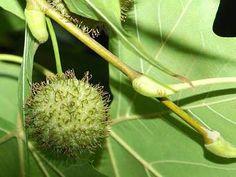 Ask.com Dandelion, Flowers, Plants, Dandelions, Plant, Taraxacum Officinale, Royal Icing Flowers, Flower, Florals