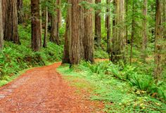 Redwood Nat'l Forest: Recommended scenic drives through ancient forests, rugged coastline, upland prairies, and oak woodlands.