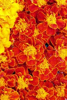 Red And Yellow Marigold Flowers