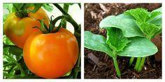 Ce punem în brazdă atunci când cultivăm roșii sau castraveți - Perfect Ask Gardening Tips, Stuffed Peppers, Fruit, Vegetables, Food, House Styles, Decor, Blue Prints, Plant