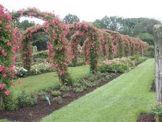 Welcome to the tunnel of flowers at Elizabeth Park. There are so many roses in this garden that it costs the park $75,000 to maintain them!