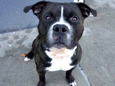 TO BE DESTROYED WED, 2/12/14 Manhattan Center TITAN A0990796  MALE BL BRINDLE/BRWN  PIT MIX  2 yrs  STRAY 1/31/14 Friendly & welcoming, happy to be leashed, likely house trained. Strong & pulls hard on leash, will  need leash training to make it a more enjoyable walk. Loves to chase a ball. Playing and hugging seem to be two of his favorite things to do! GREAT BEHAVIOR SCORE -would fit any home!!! Likes dogs too. Titan is a big dog w/ a big personality, looking for a human to match. Is it…