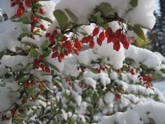 an October snow on my barberry bush