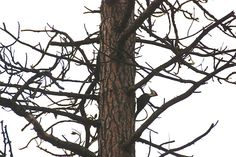 web_Pileated_Woodpecker_male_Wallace_on_pine_tree_east_YH_kh_IMG_7069