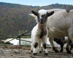 Pygmy goat baby
