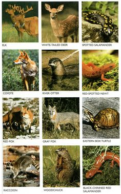 Animals of the Great Smoky Mountains in Tennessee & North Carolina, USA