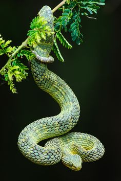 Variable Bushviper - Green bush viper, variable bushviper, leaf viper, common bush viper, bush viper or tree viper (Atheris squamigera). A venomous viper species found in West and Central Africa. By Roger de la Harpe