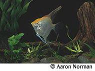 Angelfish Profile (freshwater)