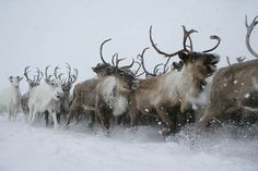 Image de winter, animal, and reindeer Giant Animals, Cute Animals, Large Animals, Deer Family, All Gods Creatures, Animal Photography, Wildlife Photography, Beautiful Creatures, Animal Kingdom