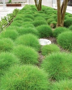 12 x Festuca Gautieri - Zwenkgras of Berenvel in pot (stukprijs - Garten Back Gardens, Small Gardens, Outdoor Gardens, Cerca Natural, Ornamental Grasses, Dream Garden, Backyard Landscaping, Garden Inspiration, Landscape Design