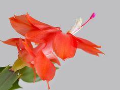 Photo: Beautiful pink Schlumbergera truncata flower closeup gray white background.